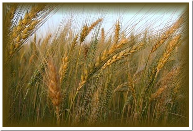joio-e-trigo